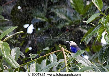 Stock Image of Blue Bellied Roller in the rain k16007825.