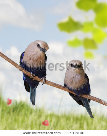 Blue Bellied Roller Stock Photos, Images, & Pictures.
