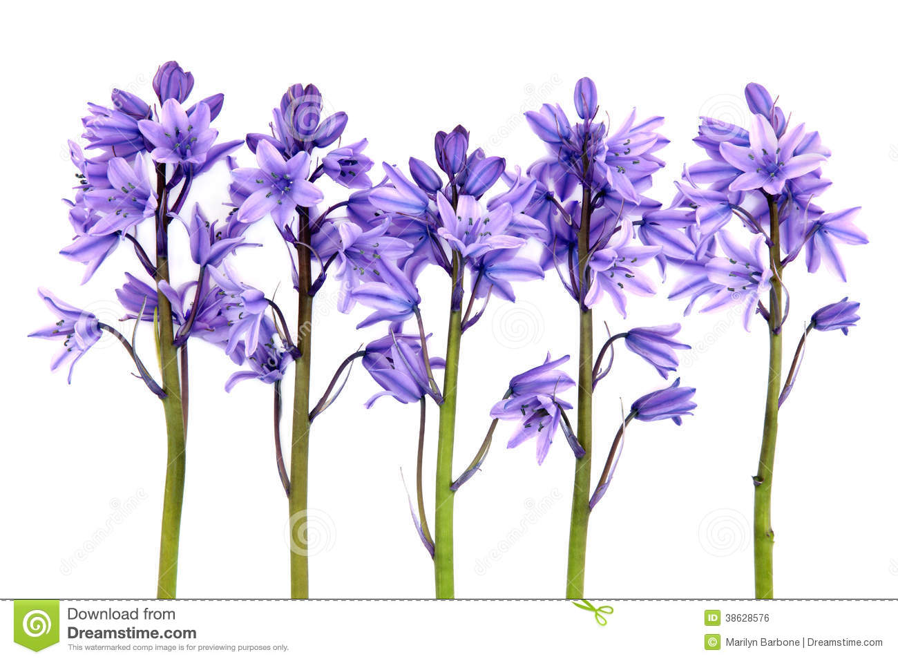 Bluebell Flowers Royalty Free Stock Image.