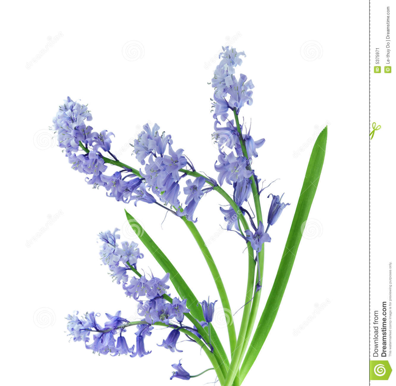 Bluebell Royalty Free Stock Photography.
