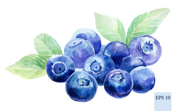 Blueberry Plant Illustrations, Royalty.