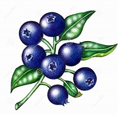 Free Blueberry Clipart.