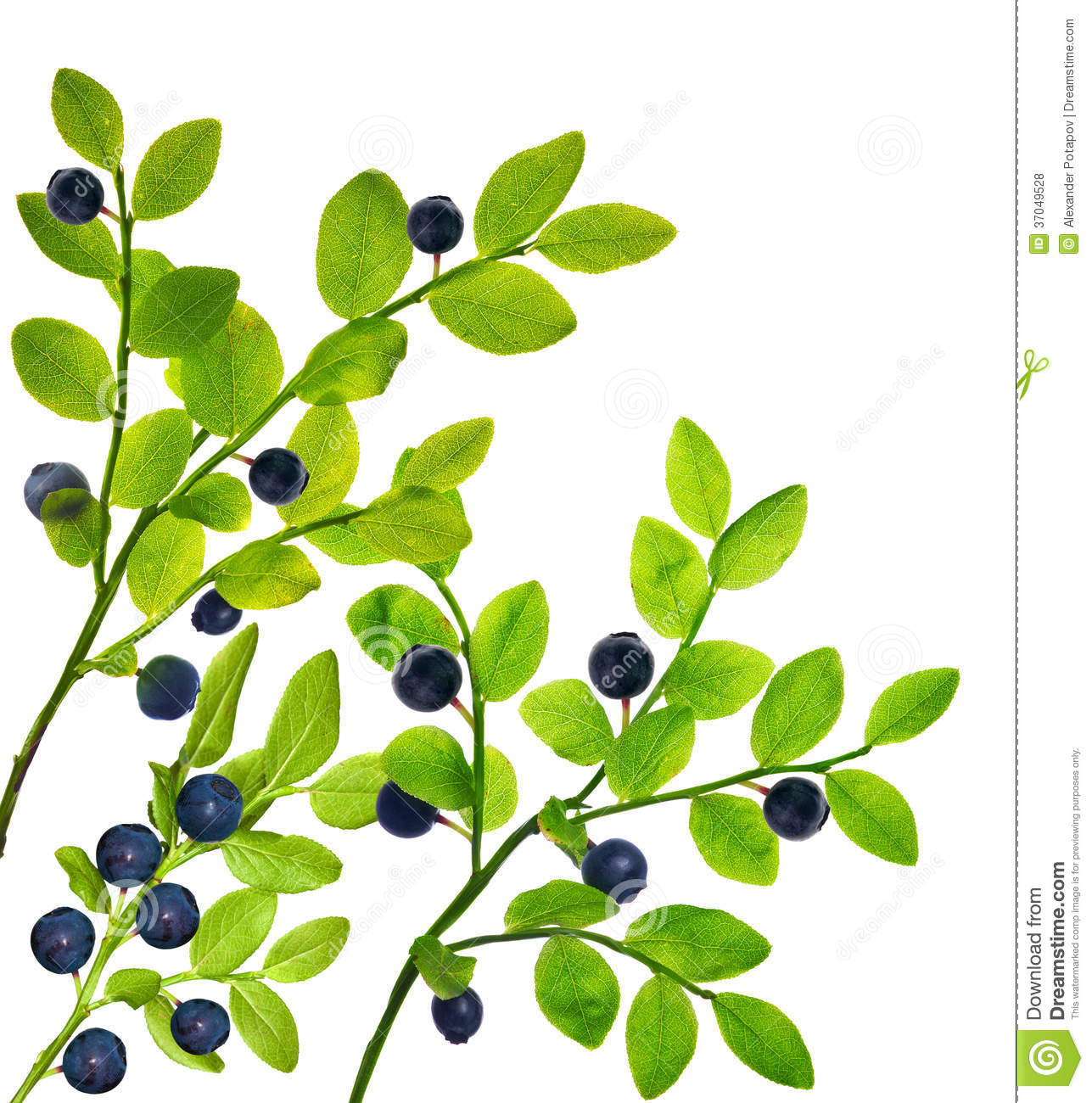 Blueberry Plants With Berries On White Royalty Free Stock Photos.