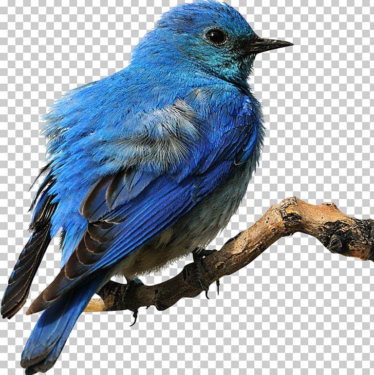 Eastern Bluebird PNG, Clipart, Animal, Animals, Beak, Bird, Bird.