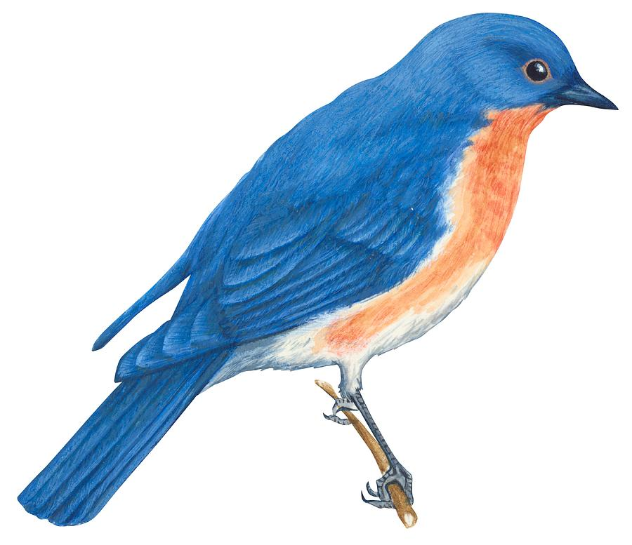 bluebird clipart eastern bluebird drawing