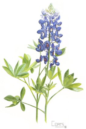 Free Bluebonnet Cliparts, Download Free Clip Art, Free Clip Art on.