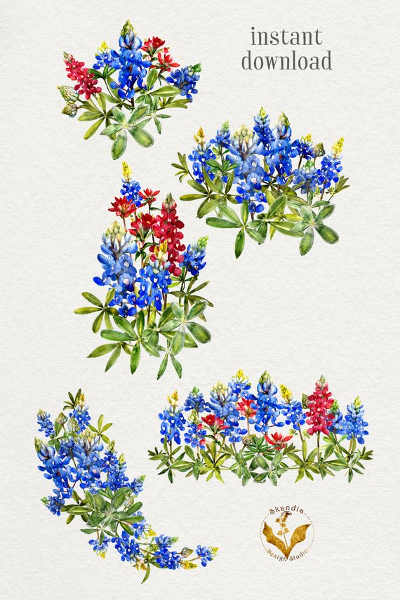 Bluebonnet Clipart, handpainted clipart, wildflower clipart.