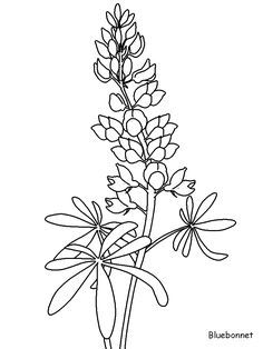 Texas Bluebonnet Flower Drawings Sketch Coloring Page.