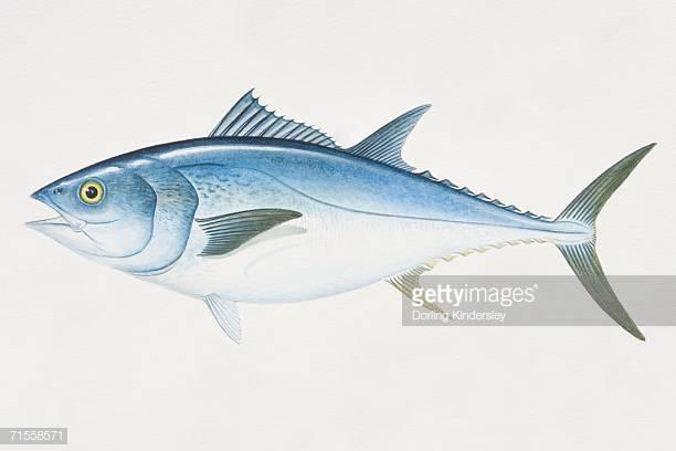 World's Best Bluefin Tuna Stock Illustrations.