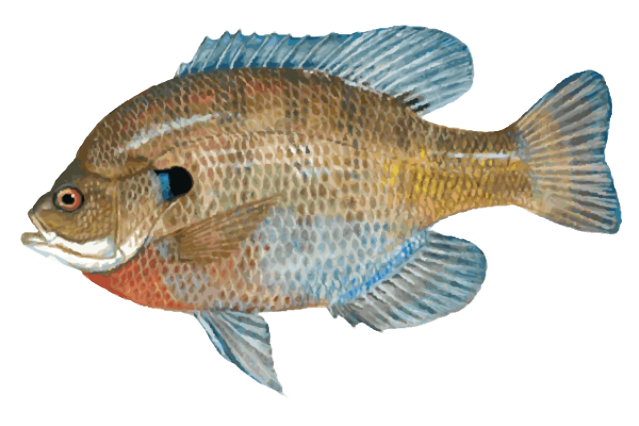 Great Clip Art of Freshwater Fish: Blue Gill.