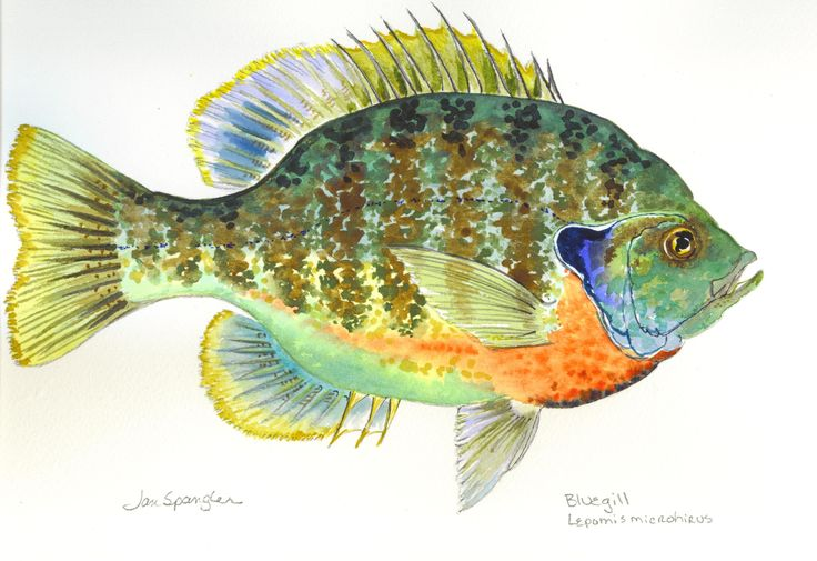 bluegill paintings.