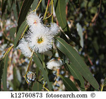 Blue gum Stock Photo Images. 3,888 blue gum royalty free pictures.