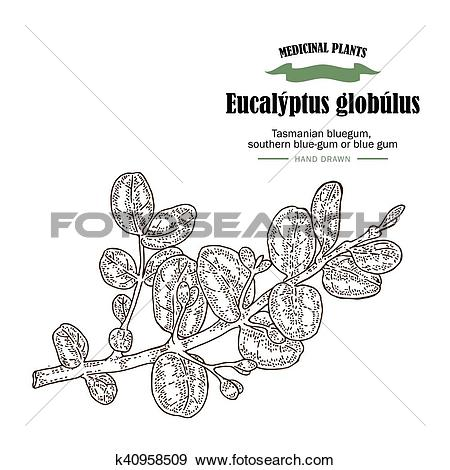 Clip Art of Hand drawn eucalyptus leaves and fruits. Eucalyptus.