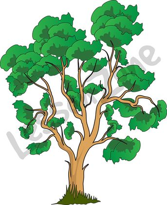 Eucalyptus tree drawing clipart.