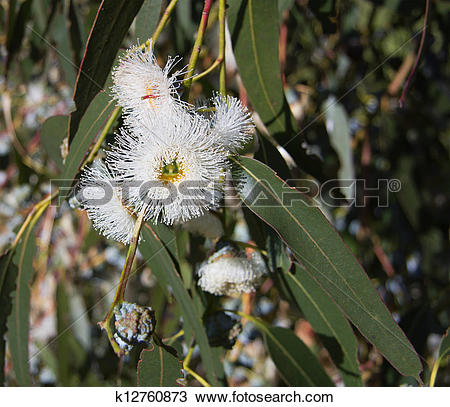 Stock Photo of Eucalyptus globulus.