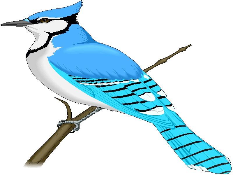 Bluejay clipart 9 » Clipart Portal.