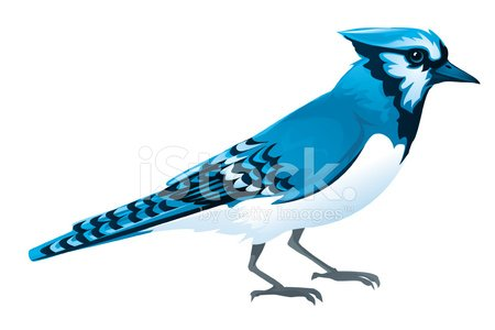 Blue Jay premium clipart.