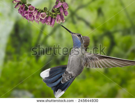 Blue Throat Stock Photos, Royalty.