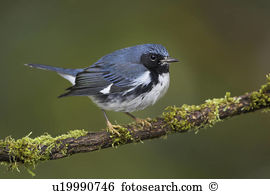 Blue throated Stock Photos and Images. 344 blue throated pictures.