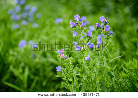 Blueweed Stock Photos, Royalty.