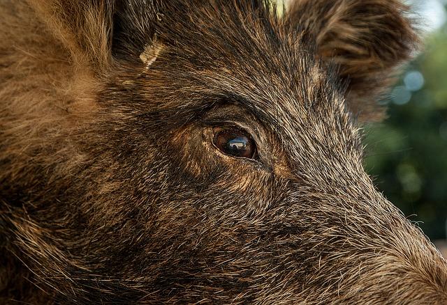 Free photo Fur Ritter Market Boar Boar Fell.