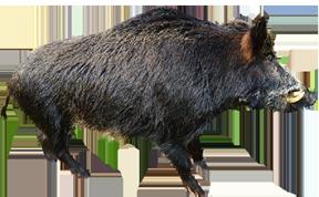 Running Boar Wild Pig Silhouette Clipart.