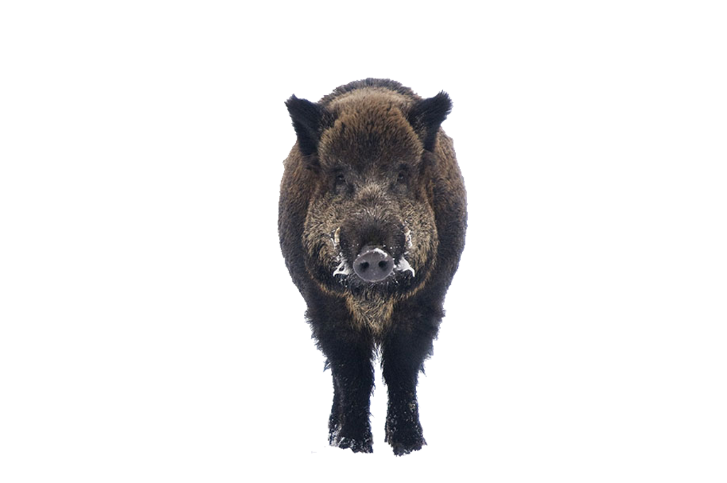 Boar Free PNG Image.