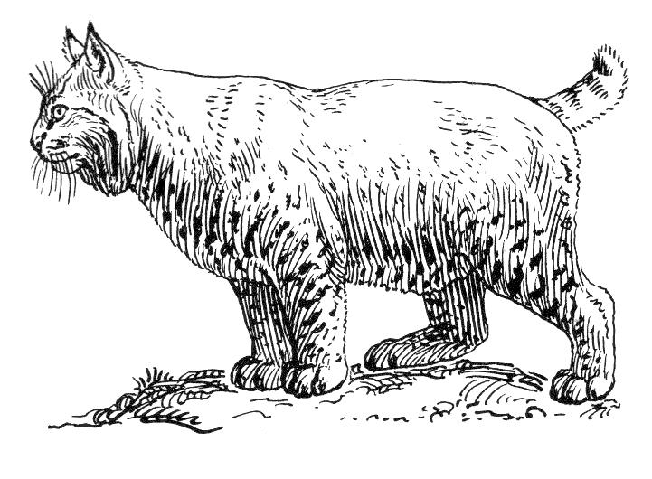 Free Bobcat Clipart, 1 page of Public Domain Clip Art.