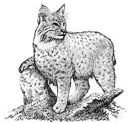 Free bobcat Clipart.