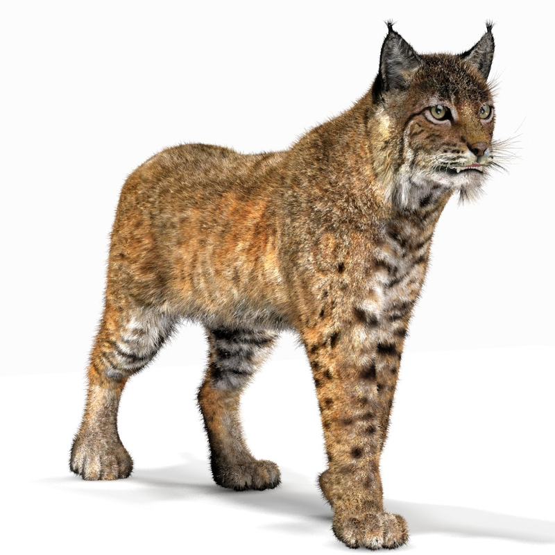 Download Free png Bobcat (Animated, fur) (Lynx.