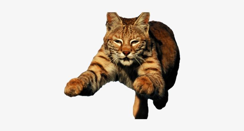 Bobcat Fierce Transparent PNG.