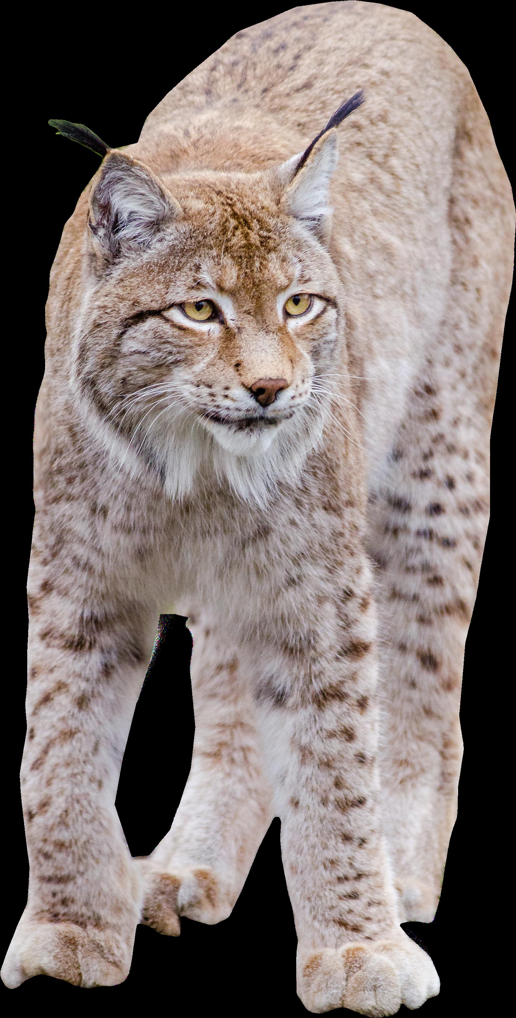 HD Lynx Standing.