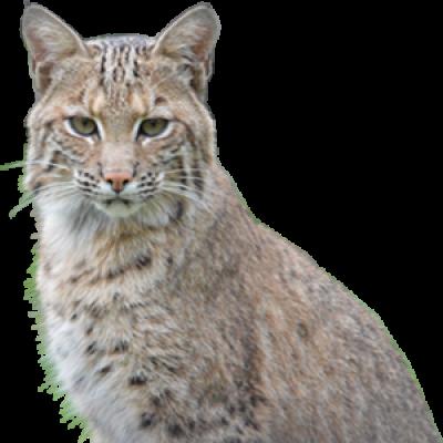Bobcat PNG.