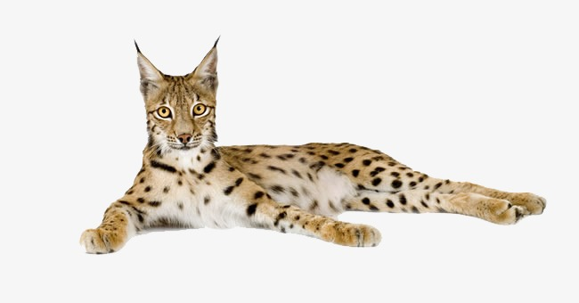 Bobcat Png (107+ images in Collection) Page 1.