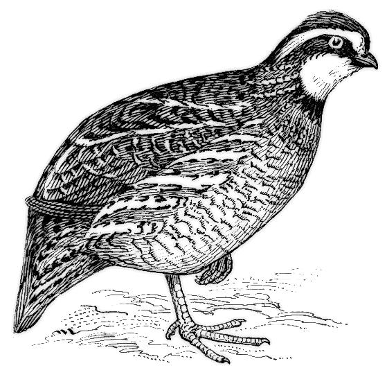 Bobwhite quail clipart.