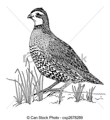 Bobwhite Illustrations and Clip Art. 5 Bobwhite royalty free.