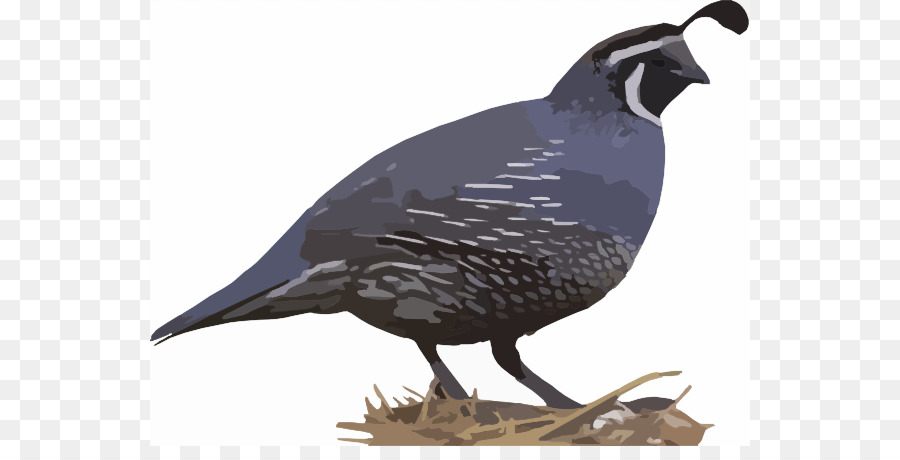 California quail Bird Northern bobwhite Clip art.