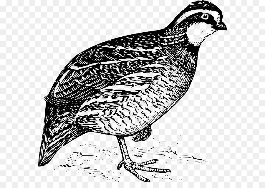 California quail Northern bobwhite Clip art.