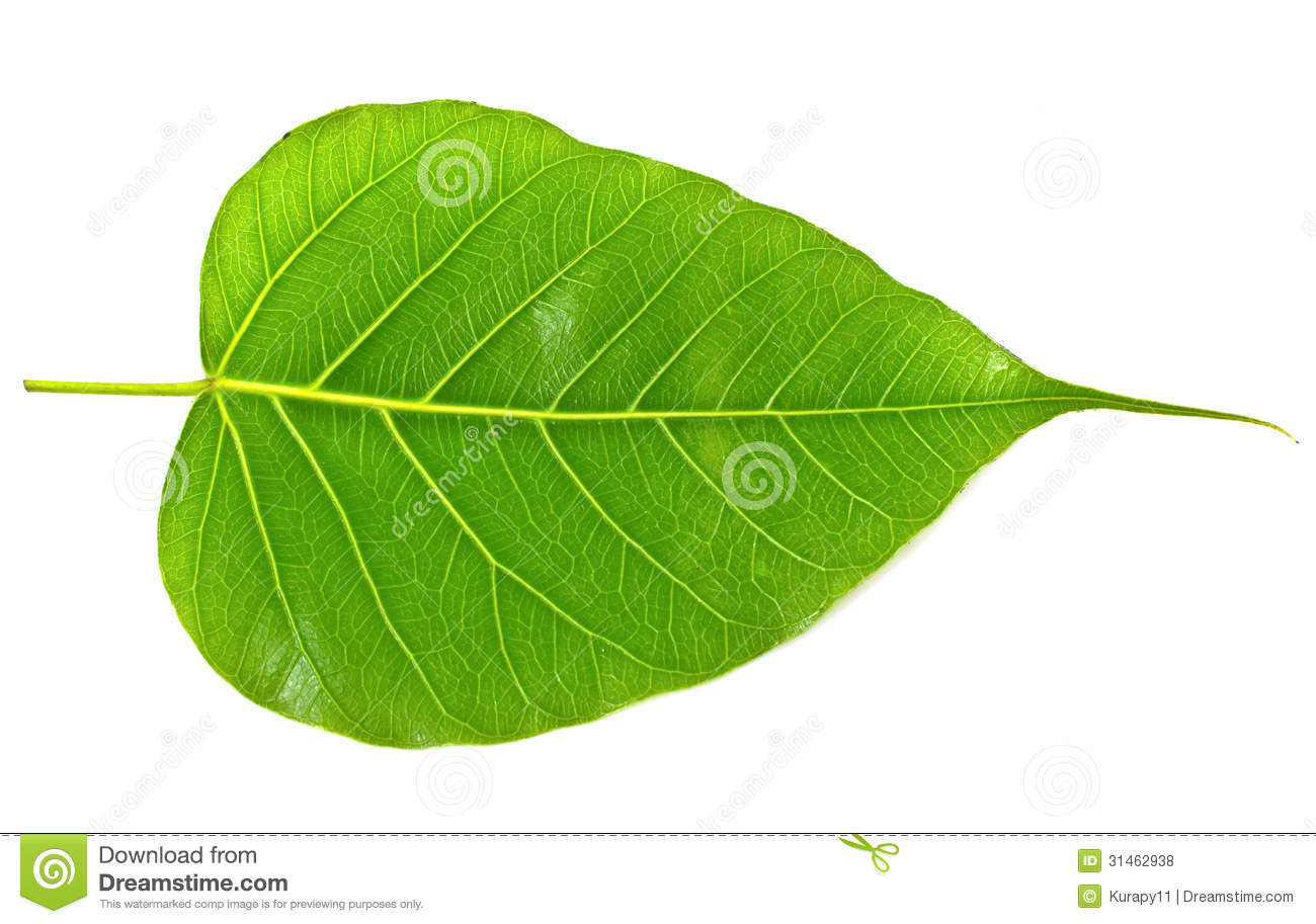 Green Bodhi Leaf Vein Royalty Free Stock Images.