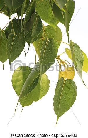 Stock Photo of Bodhi Leaf from the Bodhi tree, Sacred Tree for.
