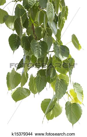 Stock Photo of Bodhi Leaf from the Bodhi tree k15379344.