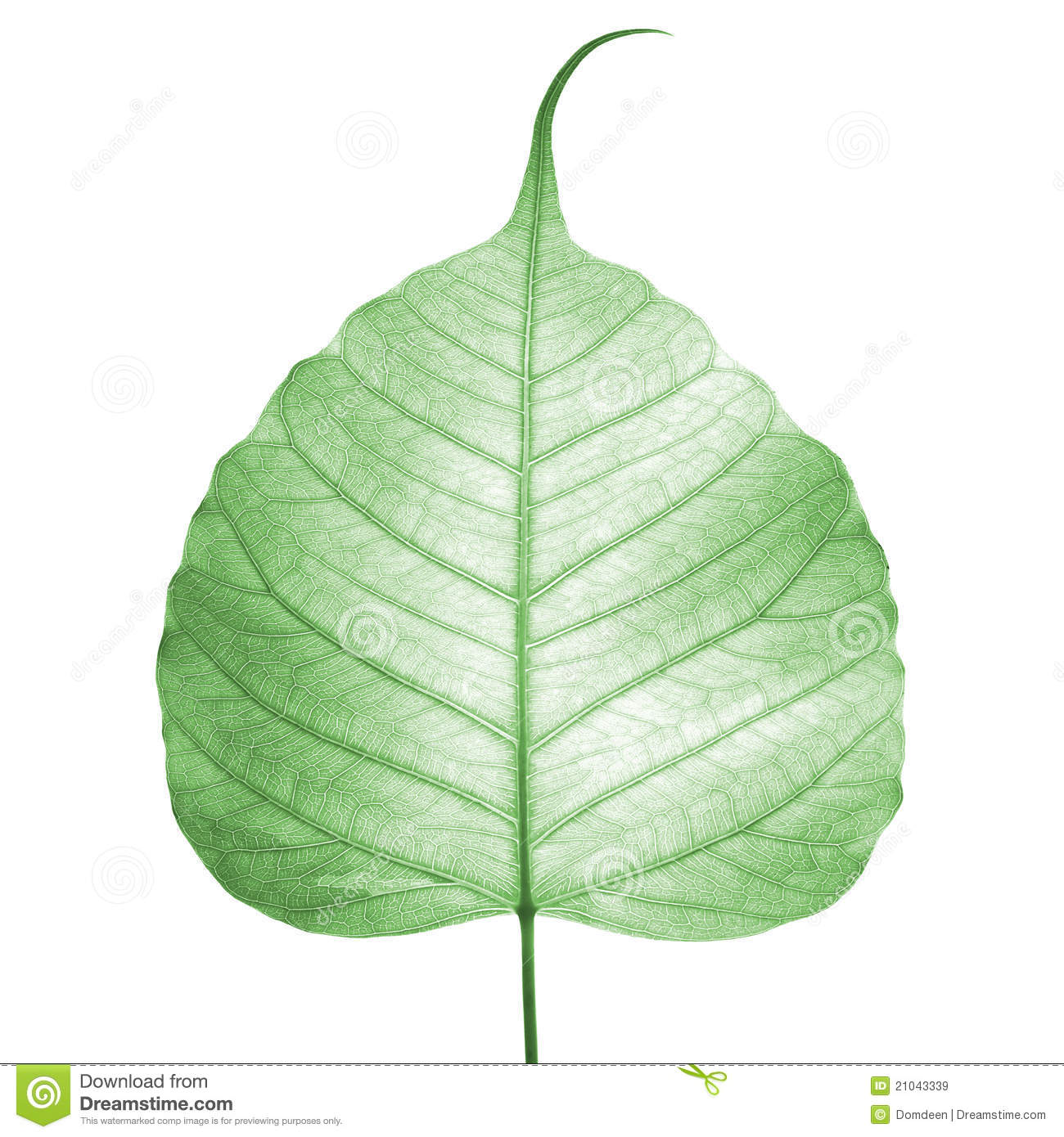 Bodhi Leaf Stock Photos, Images, & Pictures.