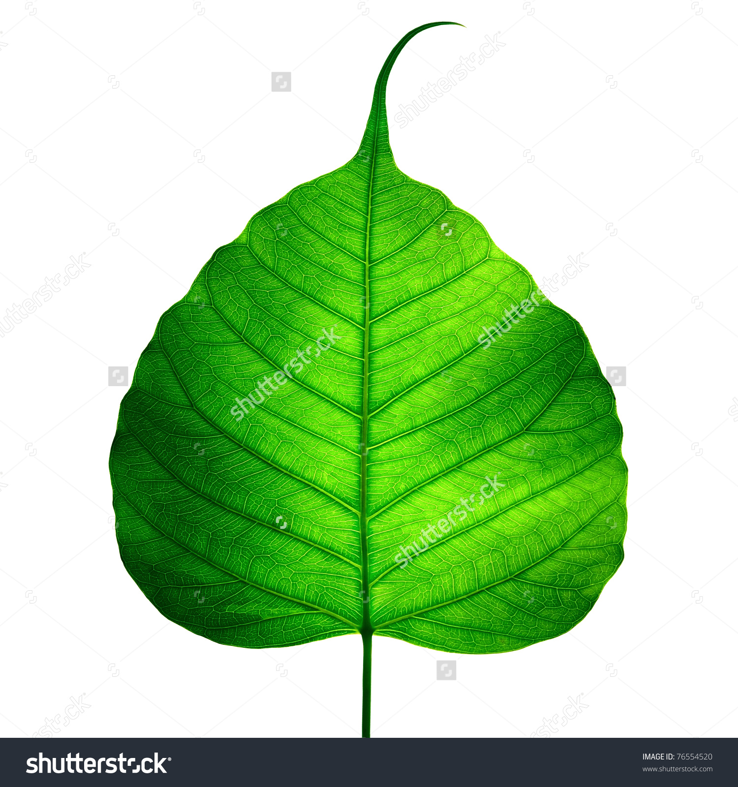 Green Leaf Vein Bodhi Leaf On Stock Photo 76554520.