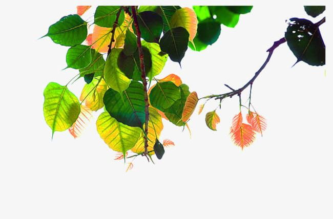 Bodhi Tree Leaves Material PNG, Clipart, Bodhi, Bodhi Clipart, Bodhi.
