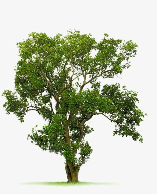 A Bodhi Tree Material PNG, Clipart, A Clipart, A Tree, Bodhi, Bodhi.