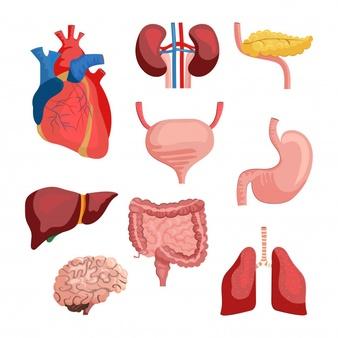 Human Organs Vectors, Photos and PSD files.