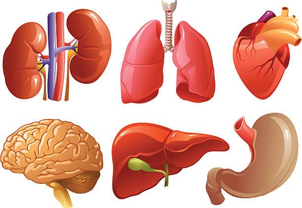 Best Human Organs Illustrations, Royalty.