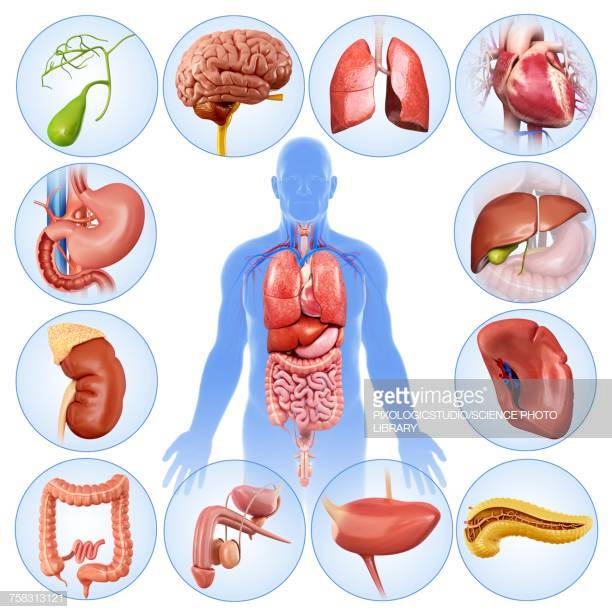 60 Top Human Internal Organ Stock Illustrations, Clip art, Cartoons.