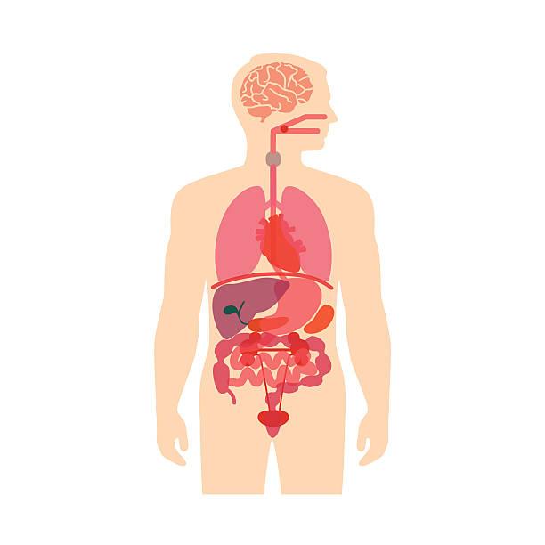 Best Human Internal Organ Illustrations, Royalty.