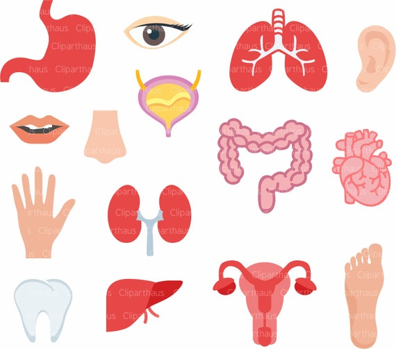 Body organs Clipart, Body organs Clipart SVG, Clipart Body organs, Heart  Clipart, Lungs Clipart, Kidney Clipart, Tooth SVG, Hand Clipart.